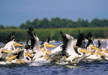 Pelicans from The Danube Delta